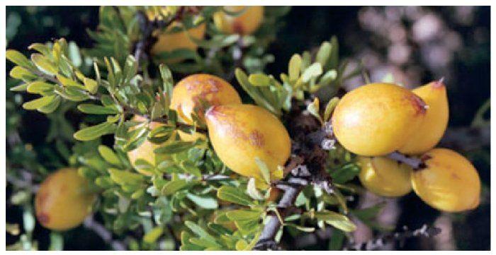 fruto del argán