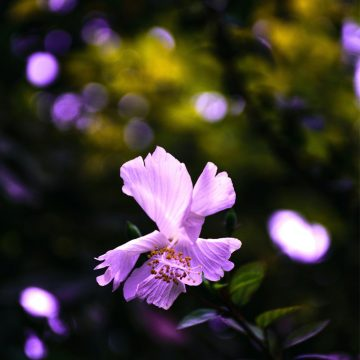 flor de malva beneficios